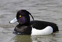 Male Tufted Duck
