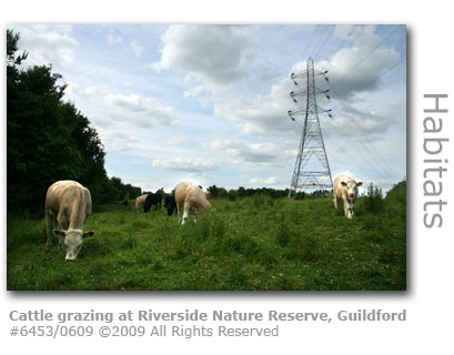 Cattle grazing at Riverside Nature reserve, Guildford