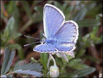 Sliver-studded blue butterfly