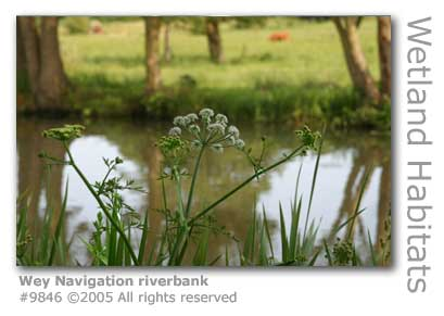 WEY NAVIGATION RIVERBANK