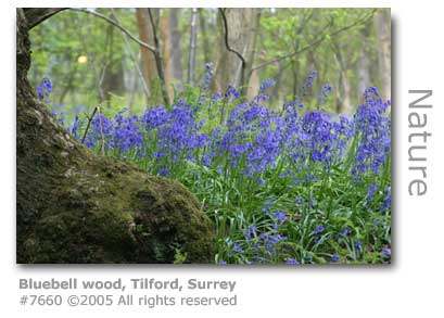 BLUEBELL WOOD TILFORD